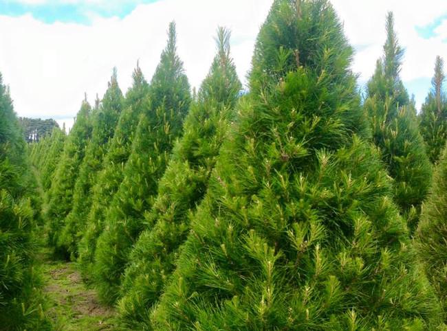 Christmas Tree Farms.Daylesford Christmas Tree Farm Direct To The Public